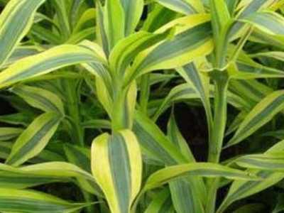 水养富贵竹怎么养 水培富贵竹怎么养才能更旺盛